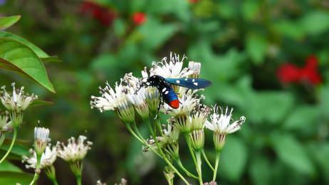 The Polka-Dot Wasp Moth (Syntomeida epilais)